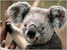 Klicke auf die Grafik für eine größere Ansicht  Name:Koala.jpg Hits:92 Größe:114,2 KB ID:410062